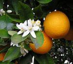 220px-OrangeBloss_wb